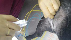 Toma de biopsia incisional de un tumor subcutáneo