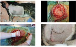 Colgajo de piel en un perro para cerrar una herida quirúrgica amplia