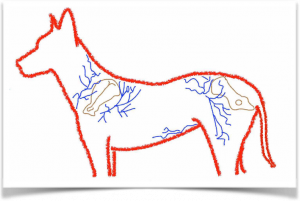 Esquema de los patrones axiales que podemos utilizar para obtener colgajos de piel en un perro