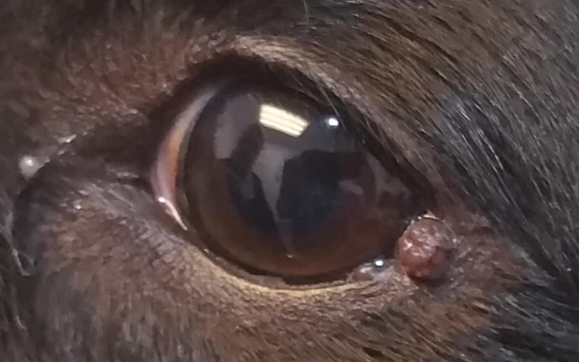 papiloma palpebral perros)