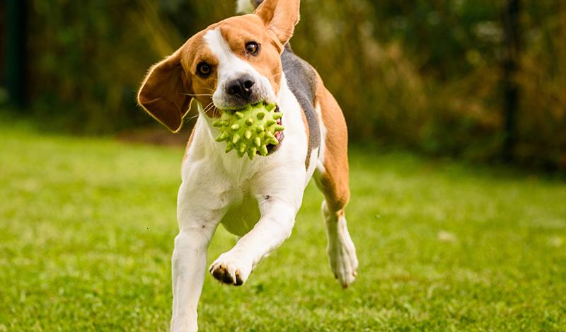 Entendiendo el sistema endocannabinoide de las mascotas